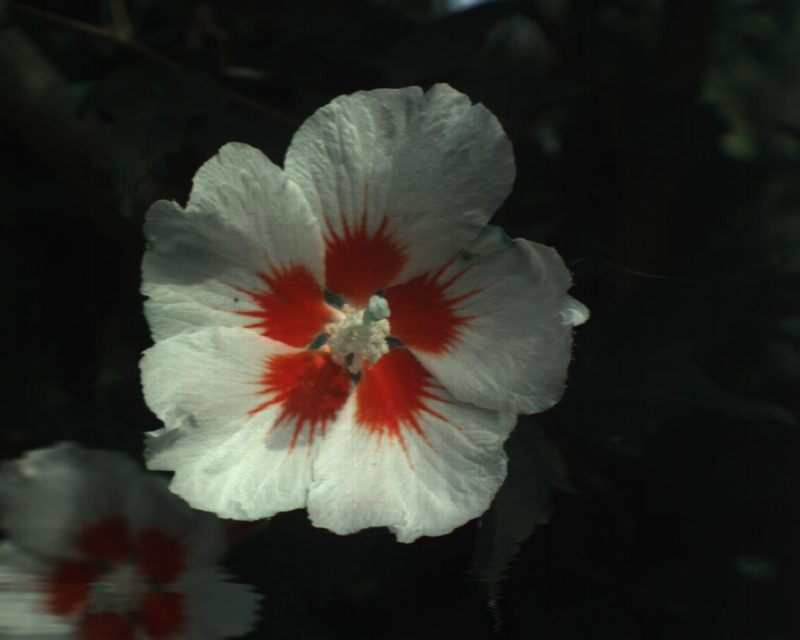 花・ハイパースペクトルRGBイメージ
